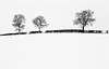 Three Friends in the Snow (asheers) Tags: landscape frozen winter tree silhouette snow frost snowing hedge cold temperature trees white mono monochrome silverefex
