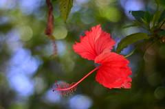 Ensueño (Manutero) Tags: verde naturaleza nature natural green plants plantas flor presente pasado futuro rojo pistilo petalos tepalos foco 18 tiempo ensueño pensamiento