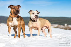 2016-01-05 (annamarias.) Tags: american pit bull terrier pitbull staffordshire strong muscular friends friendship snow winter