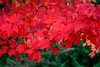 Splash of Red (FJMaiers) Tags: maple tree leaf red autumn fall wisconsin augusta nikon d5300 leaves park october color nature turning