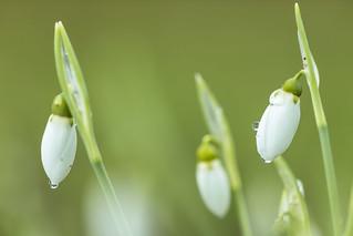 Die ersten Schneeglöckchen - Galanthus nivalis (2)