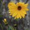 Sunflower (RJAB2012) Tags: sunflower flower yellow bokeh brunet