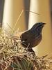 Moroccan sparrow (Shahrazad26) Tags: marrakech morocco marokko maroc vogel oiseau bird huisgors