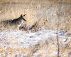 Stalking (droy0521) Tags: plains wildlife winter coyote mammal colorado outdoors prairie snow places animal