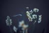 見返り水仙 (ryo_ro) Tags: sony a7 nokton ilce7 50mm f15 flower 水仙 narcissus