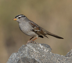White-Crowned Sparrow (cindyslater) Tags: whitecrownedsparrow sparrow arizona wildlife cindyslater goldenvalleyaz animal