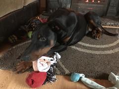 A Dobermann's Christmas (firehouse.ie) Tags: k9 male boy xmas 2017 christmastime christmas saxon pinscher pinschers dogs dog dobermanns dobermans dobermann doberman dobeys dobey dobies dobie dobes dobe