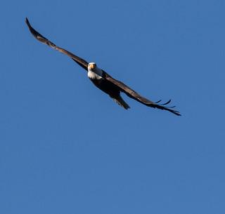 2017 American Bald Eagles at Conowingo Dam (31)