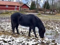 Matletaren… (Patrick Strandberg) Tags: sweden östergötland bergagård eilifur icelandichorse islandshäst horse häst iphone iphonex