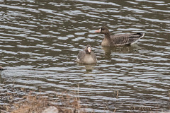 Greater White-fronted Geese (J.B. Churchill) Tags: allegany birds cumberlandterminus gwfg maryland places taxonomy waterfowl cumberland unitedstates us