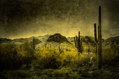 Valley fever ... (max tuta noronha) Tags: valleyfever whitethankmountain urubus cactus cacti cockeye ratesnakes cobracascabel mountain landscape dreamscape martianlandscape landscapedemarte theworldisgreenyeloow