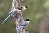 Pies bleues (Tifaeris) Tags: cyanopicacyanus doñana espagne piebleue