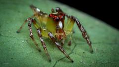 Red face spider male (Luca Macrofotografia) Tags: spider aranhas luca macro