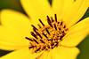 Yellow Wildflower Macro (thatSandygirl) Tags: outdoor nature plant flower macro stamen pistil yellow bright september summer ohio park brown