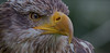 Watchful eagle eye (pe_ha45) Tags: greifvögel weiskopfseeadler haliaeetusleucocephalus baldeagle adlerauge eagleeye raptor rapace