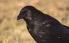 Corvus corone (Filippo Guzzon) Tags: corvus corone crow carrion cornacchia nera