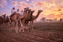 Entry (Rajesh Jyothiswaran) Tags: arabia arabic camel dawn desert gallop landscape morning light muscat oman race run sand dunes sky sunrise traditional uae
