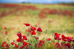 Swaying in the wind (Peideluo) Tags: naturaleza paisaje landscape colores amapolas flores campo poppy flor spring hierba bokeh