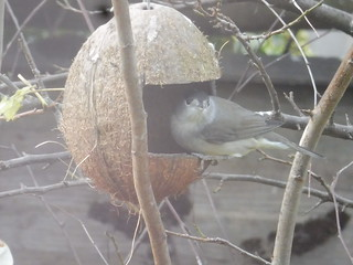 A Blackcap in my garden