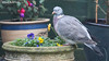 Wood Pigeon (DougRobertson) Tags: woodpigeon pigeon flowers garden bird birdwatcher wildlife animal nature