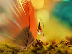 I'm your biggest fan (miss gecko) Tags: fan feather moss seed waterdrop reflection bokeh macro concept