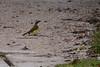 Social Flycatcher (Lew Ulrey) Tags: socialflycatcher myiozetetessimilis flores guatemala december ebird