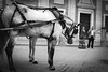 00007731 (celalteber) Tags: horse man horses coach spain seville street andalucia feria caseta abril celebration monochrome bnw blackandwhite streetphotography xf27mmf28 fujifilm xe1 animal bw celalteber siyahbeyaz blancoynegro