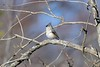 Tufted titmouse singing on a branch (adirondack_native) Tags: tufted titmouse singing branch