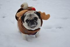 Pug in reindeer costume (Lorelei Lou) Tags: pugs dogs pets