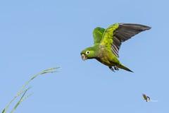 Olive-throated Parakeet (fernaabs) Tags: olivethroated parakeet eupsittula nana perico azteco psittaciformes aves fernaabs burgalin avesdecostarica psittacidae