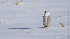Harfang des neiges / Snowy Owl [Bubo scandiacus] (Curculion (Thx for over 1M views! / Merci pour le ) Tags: strigidae strigiformes harfangdesneigessnowyowlbuboscandiacus aves nycteascandiaca