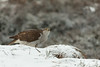 Goshawk (sdhweb) Tags: goshawk hawk scenery birds bird branches snow snowy outdoors photography posing woods winter december canon telephoto norway beacon prey eating meal wildlife nature