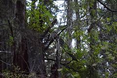 Prairie Creek Redwoods State Park (David A's Photos) Tags: prairiecreekredwoodsstatepark prairiecreek humboldtcounty california december 2017 nature trees saprophyte rhododendronmacrophyllum rhododendron macrophyllum redwoods forest