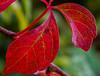Red Leaves (risaclics) Tags: red rules make me smile saturday 60mmmacro 7dw december2017 nikond610d redrules makemesmile smileonsaturday