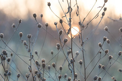 Fade (jillyspoon) Tags: yorkshire morning weeds winter canon70d canon70200 dead sun fade fading seedheads grey peach sunrise network connected light niddgorge