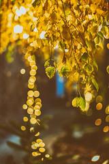 Nature and Backlight (*Capture the Moment*) Tags: 2017 backlight backlit blätter bokeh christmasmarket dof film fotowalk gegenlicht leaf leafes munich münchen nachtaufnahmen nightshot pflanzen sonya7m2 sonya7mii sonya7mark2 sonya7ii sonyilce7m2 weihnachtsmark weihnachtsmarkt zeisssonyfe1855 analog analogue bokehlicious
