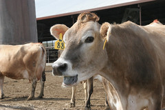 Broumley Dairy (gosdin) Tags: cow dairy farm animals cute gurnsey