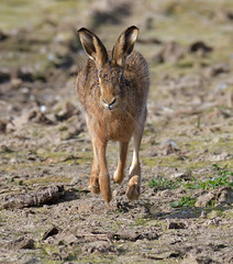 Brown Hare (KHR Images) Tags: brownhare brown hare wild mammal lepuseuropaeus running framptonmarsh lincolnshire rspb wildlife nature nikon d500 kevinrobson khrimages