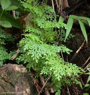 Selaginella denticulata (L.) Spring