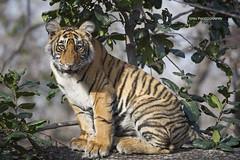 A tiger cub sitting in a tree! (WhiteEye2) Tags: tigercub bengal tiger cub bengaltiger wildlife nature ranthambhorenationalpark india wild bigcats cute adorable