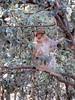 Macaque in a tree, Monkey Park near Azrou, Morocco (Paul McClure DC) Tags: azrou ifraneprovince morocco maroc almaghrib jan2017 middleatlas fèsmeknèsregion animals ape monkey macaque