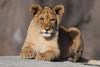 African lion cub @ Wildlands Adventure Zoo Emmen 25-03-2017 (Maxime de Boer) Tags: african lion lioness cub afrikaanse leeuw leeuwin welpje leeuwenwelpje panthera leo big cats katachtigen wildlands adventure zoo emmen animals dieren dierentuin gods creation schepping creator schepper genesis