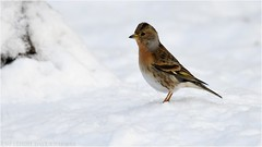 """Male Brambling in the snow (DaveChapman """"If it flies,I shoot it"""") Tags: brambling british branch bird birds perched perch shropshire winter snow snowing migrant migration visitor"""