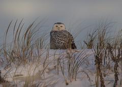 All that Glitters (slsjourneys) Tags: owl snowyowl islandbeachstatepark beach sunrise