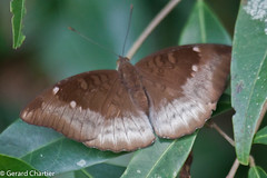 Euthalia monina kesava (Malay Baron)