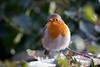Frosty Robin (hanley27) Tags: bird canon400mm l f56