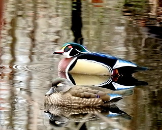 Winter Wood Duck