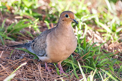 Mourning Dove (Zenaida macroura) in our Front Yard (Jim Frazee) Tags: mourningdove zenaidamacroura