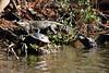 Swamp scene: two alligators and a turtle (pedrik) Tags: louisiana usa swamp bayou alligator turtle reptile d7200 afsdxvrnikkor55300mm4556g gimp retinex oldpearlriver basking