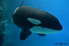 Kiska (NamikaOrcas) Tags: kiska orca killer whale orque épaulard canada ontario marineland niagara falls noir blanc mammifère cétacé dauphin dolphin cetacean